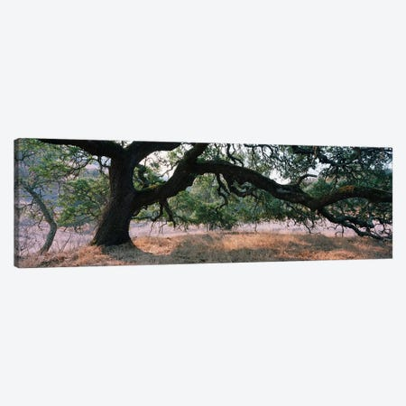 Oak Woodland, Sonoma County, California, USA Canvas Print #PIM5185} by Panoramic Images Canvas Wall Art