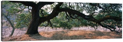 Oak Woodland, Sonoma County, California, USA Canvas Art Print