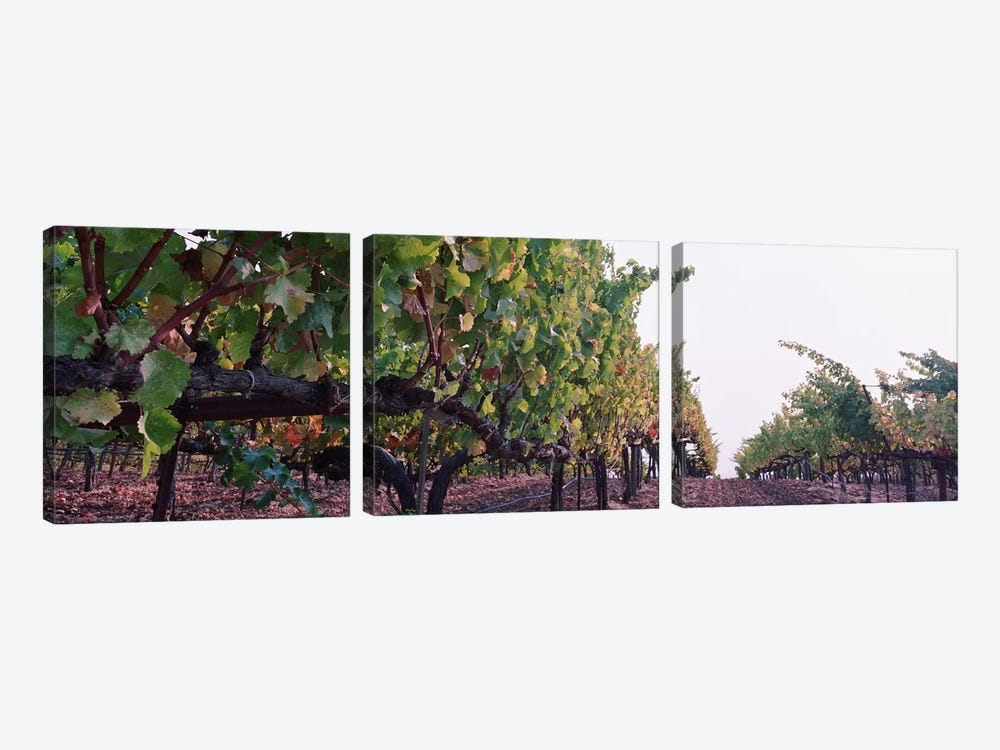Low-Angle View Of A Vineyard Path, Sonoma County, California, USA by Panoramic Images 3-piece Canvas Print