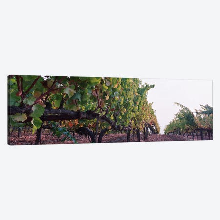 Low-Angle View Of A Vineyard Path, Sonoma County, California, USA Canvas Print #PIM5186} by Panoramic Images Canvas Wall Art