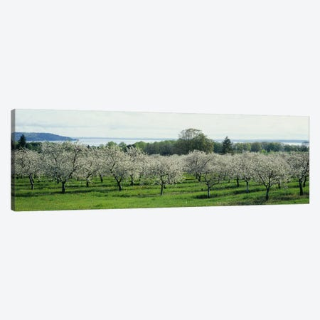 Cherry Blossoms, Traverse City, Old Mission Peninsula, Michigan, USA Canvas Print #PIM5257} by Panoramic Images Canvas Wall Art
