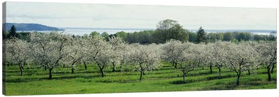 Cherry Blossoms, Traverse City, Old Mission Peninsula, Michigan, USA Canvas Art Print