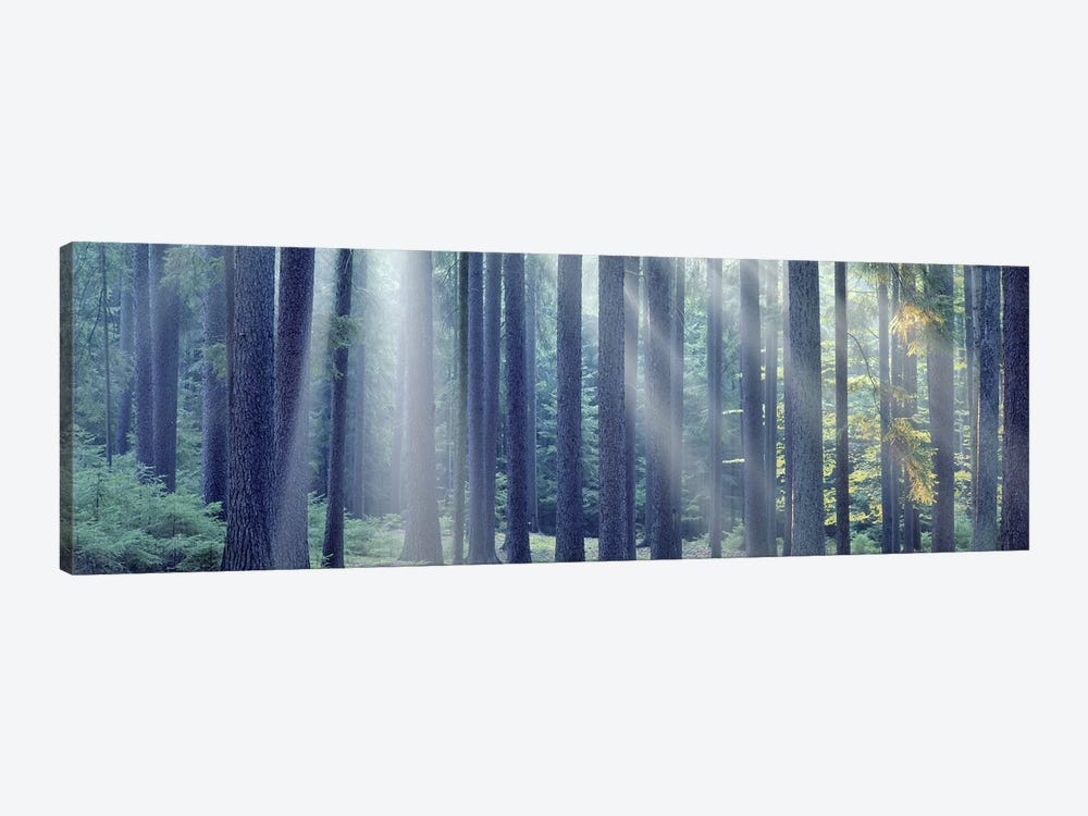 Sunlight passing through trees in the forest, South Bohemia, Czech Republic by Panoramic Images 1-piece Canvas Art Print