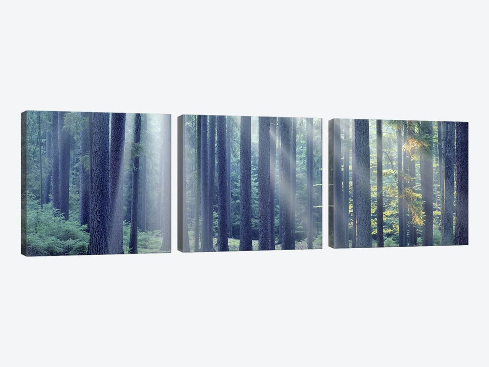 Sunlight passing through trees in the forest, South Bohemia, Czech Republic by Panoramic Images 3-piece Art Print