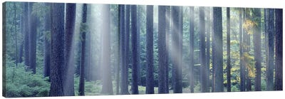 Sunlight passing through trees in the forest, South Bohemia, Czech Republic Canvas Art Print