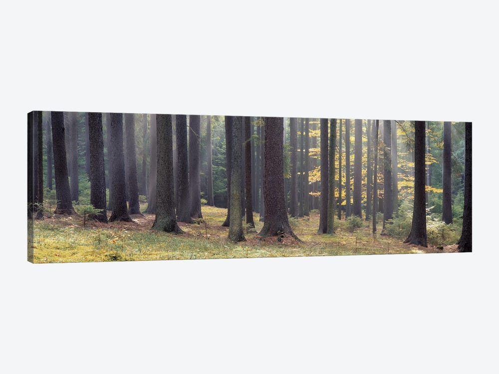 Trees in the forest, South Bohemia, Czech Republic by Panoramic Images 1-piece Canvas Artwork