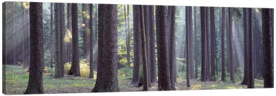 Trees in the forest, South Bohemia, Czech Republic #2 Canvas Art Print
