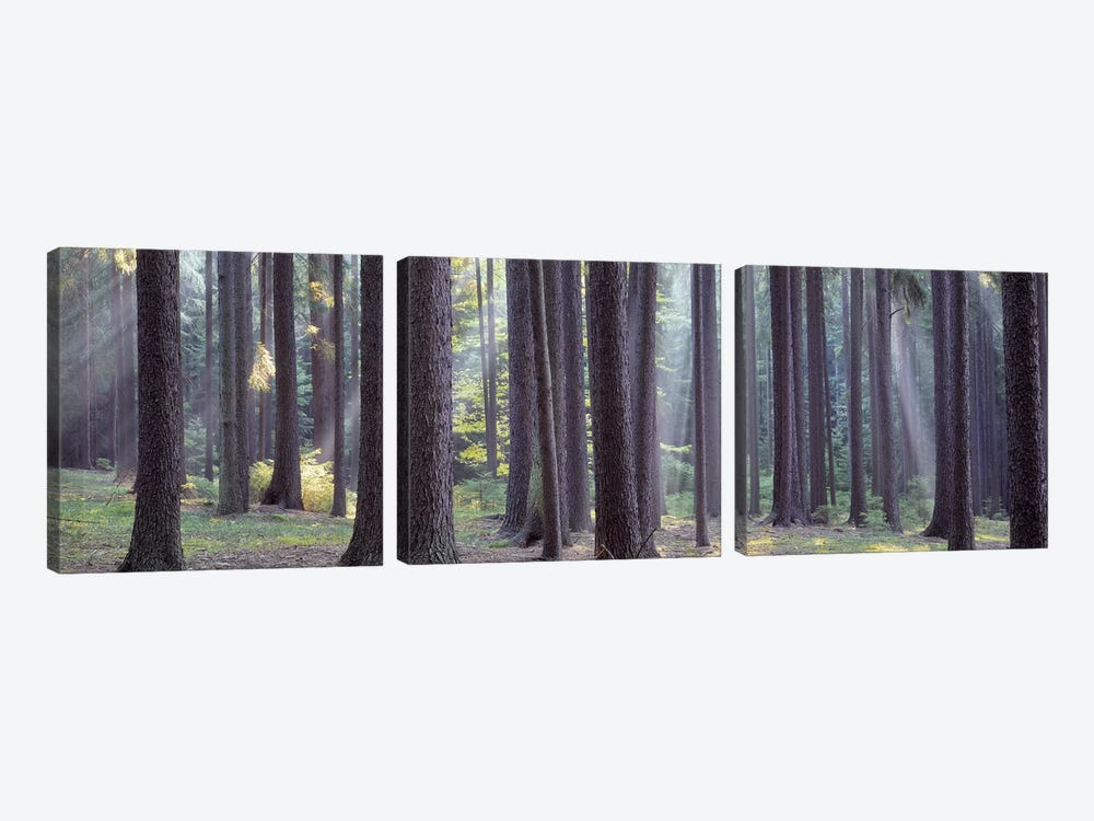 Trees in the forest, South Bohemia, Czech Republic #2 by Panoramic Images 3-piece Canvas Art Print