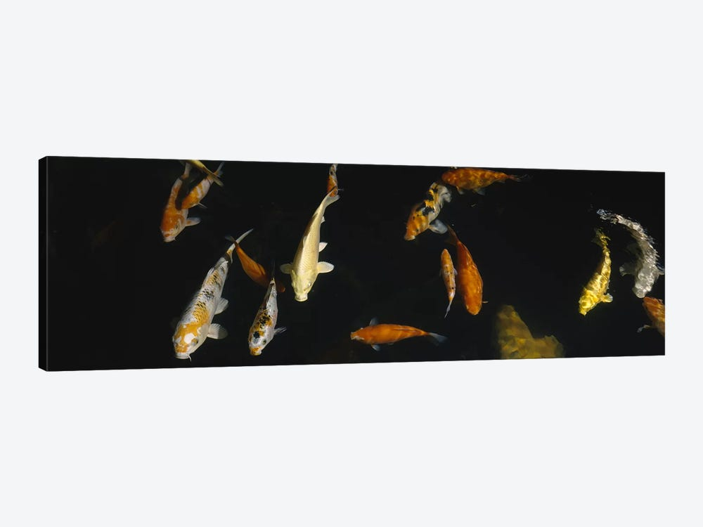 Close-up of a school of fish in an aquarium, Japanese Koi Fish, Capitol Aquarium, Sacramento, California, USA by Panoramic Images 1-piece Canvas Art