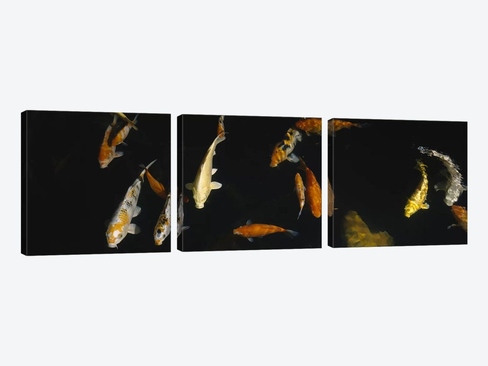Close-up of a school of fish in an aquarium, Japanese Koi Fish, Capitol Aquarium, Sacramento, California, USA by Panoramic Images 3-piece Canvas Wall Art