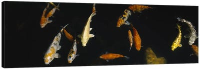 Close-up of a school of fish in an aquarium, Japanese Koi Fish, Capitol Aquarium, Sacramento, California, USA Canvas Art Print