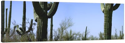 Mid section view of cactus, Saguaro National Park, Tucson, Arizona, USA Canvas Art Print