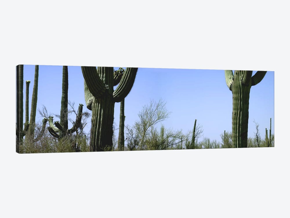 Mid section view of cactus, Saguaro National Park, Tucson, Arizona, USA by Panoramic Images 1-piece Art Print