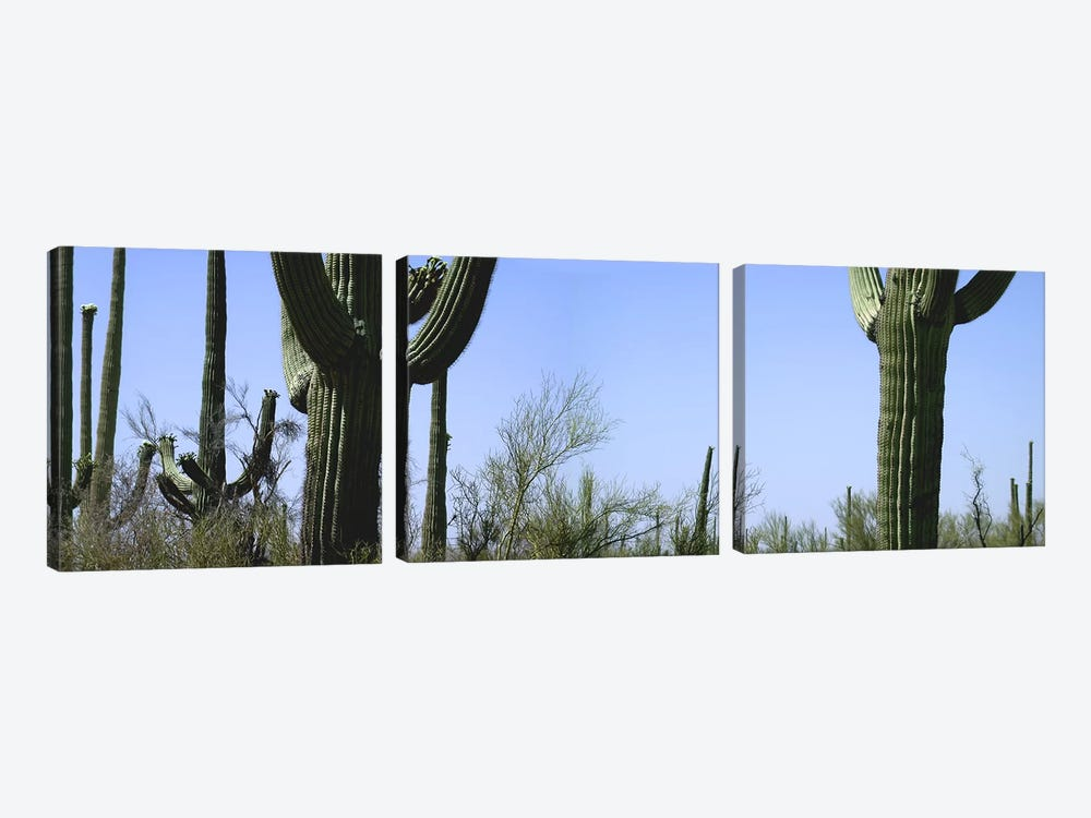 Mid section view of cactus, Saguaro National Park, Tucson, Arizona, USA by Panoramic Images 3-piece Canvas Art Print