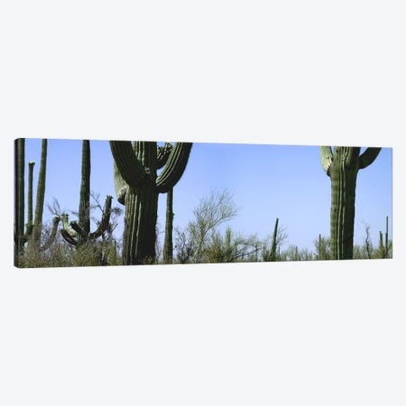 Mid section view of cactus, Saguaro National Park, Tucson, Arizona, USA 3-Piece Canvas #PIM5398} by Panoramic Images Canvas Artwork