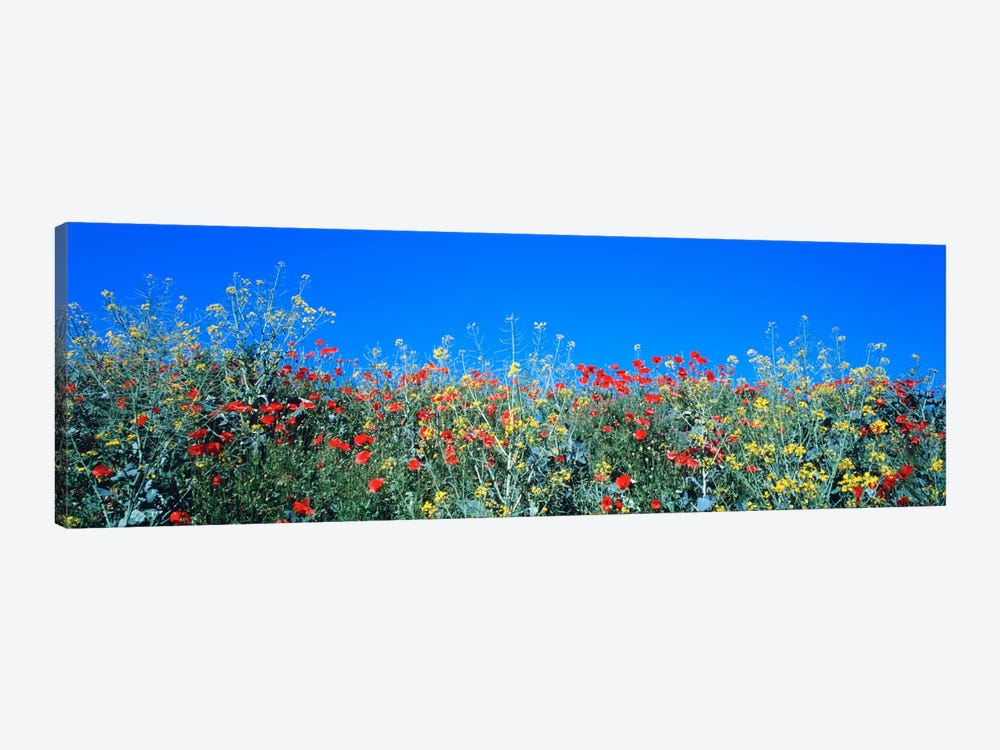 Poppy field Tableland N Germany by Panoramic Images 1-piece Canvas Art