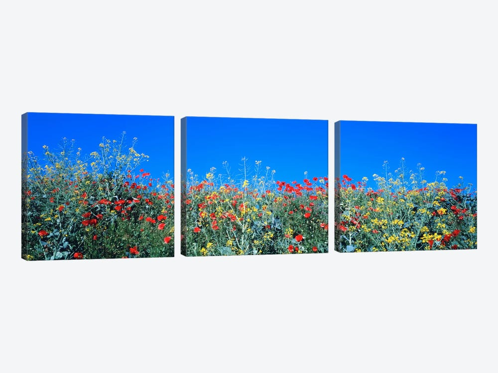 Poppy field Tableland N Germany by Panoramic Images 3-piece Canvas Art