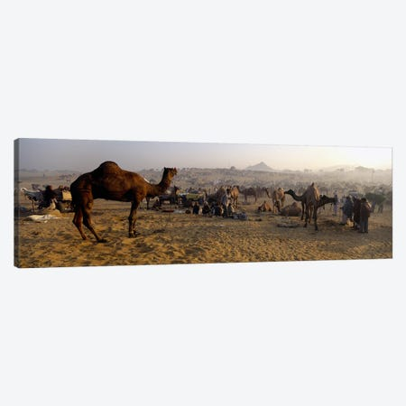 Camels in a fair, Pushkar Camel Fair, Pushkar, Rajasthan, India Canvas Print #PIM5474} by Panoramic Images Canvas Art