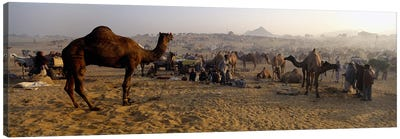 Camels in a fair, Pushkar Camel Fair, Pushkar, Rajasthan, India Canvas Art Print