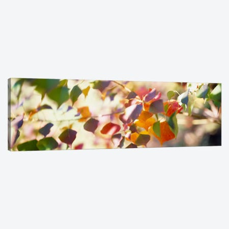 Chinese Tallow Leaves Canvas Print #PIM547} by Panoramic Images Canvas Art