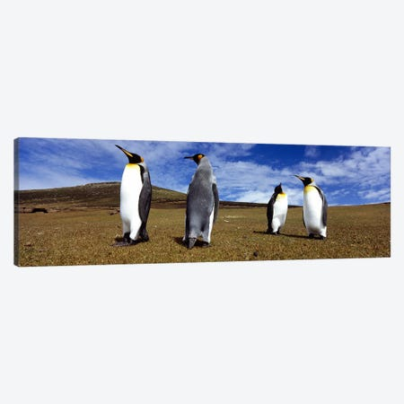 Four King penguins standing on a landscape, Falkland Islands (Aptenodytes patagonicus) Canvas Print #PIM5575} by Panoramic Images Art Print