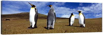 Four King penguins standing on a landscape, Falkland Islands (Aptenodytes patagonicus) Canvas Art Print