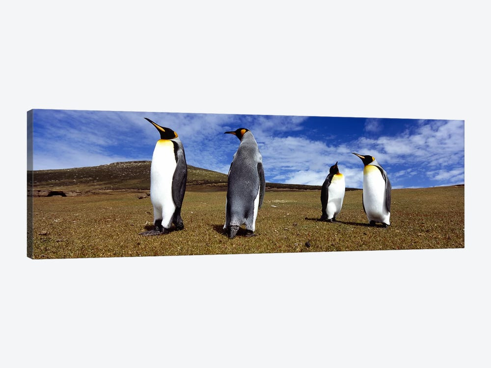 Four King penguins standing on a landscape, Falkland Islands (Aptenodytes patagonicus) by Panoramic Images 1-piece Canvas Wall Art