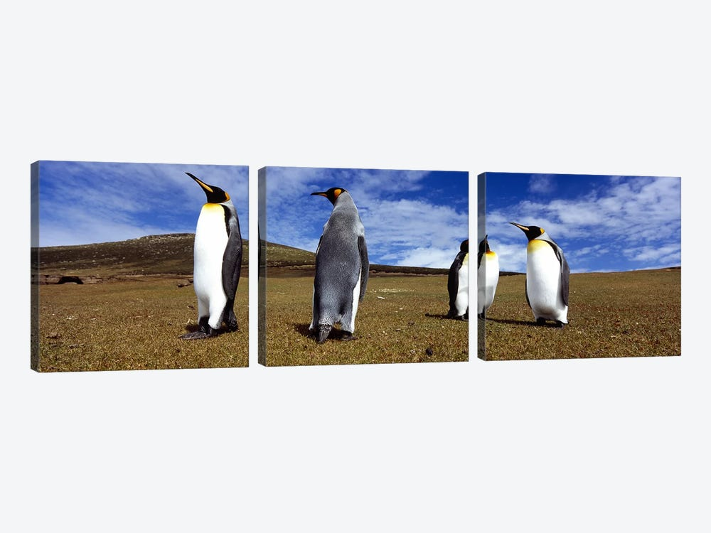 Four King penguins standing on a landscape, Falkland Islands (Aptenodytes patagonicus) by Panoramic Images 3-piece Canvas Wall Art