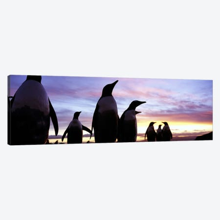 Silhouette of a group of Gentoo penguins, Falkland Islands (Pygoscelis papua) Canvas Print #PIM5576} by Panoramic Images Canvas Print