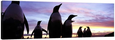 Silhouette of a group of Gentoo penguins, Falkland Islands (Pygoscelis papua) Canvas Art Print