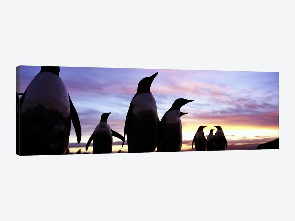 Silhouette of a group of Gentoo penguins, Falkland Islands (Pygoscelis papua) by Panoramic Images 1-piece Canvas Print