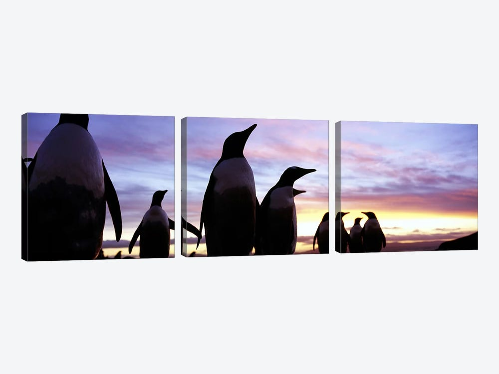 Silhouette of a group of Gentoo penguins, Falkland Islands (Pygoscelis papua) by Panoramic Images 3-piece Canvas Print