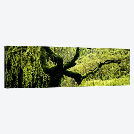 Moss growing on the trunk of a Weeping Willow tree, Japanese Garden, Washington Park, Portland, Oregon, USA Canvas Print #PIM5578} by Panoramic Images Canvas Wall Art
