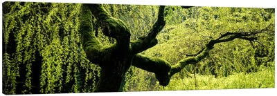 Moss growing on the trunk of a Weeping Willow tree, Japanese Garden, Washington Park, Portland, Oregon, USA Canvas Art Print