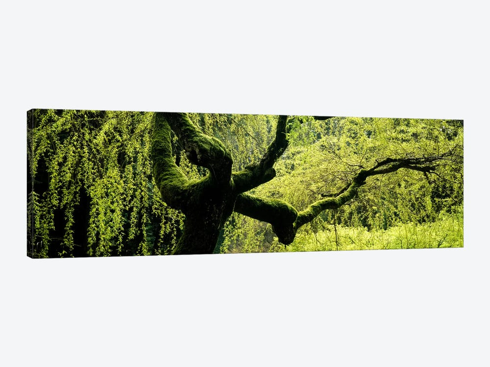 Moss growing on the trunk of a Weeping Willow tree, Japanese Garden, Washington Park, Portland, Oregon, USA by Panoramic Images 1-piece Canvas Art Print