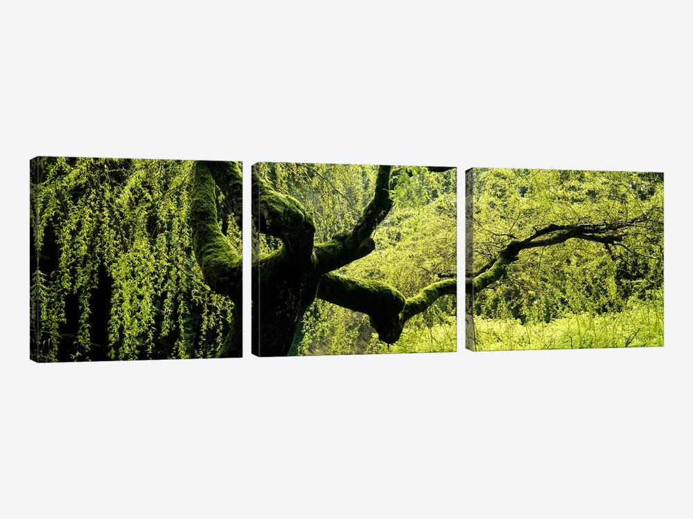 Moss growing on the trunk of a Weeping Willow tree, Japanese Garden, Washington Park, Portland, Oregon, USA by Panoramic Images 3-piece Art Print
