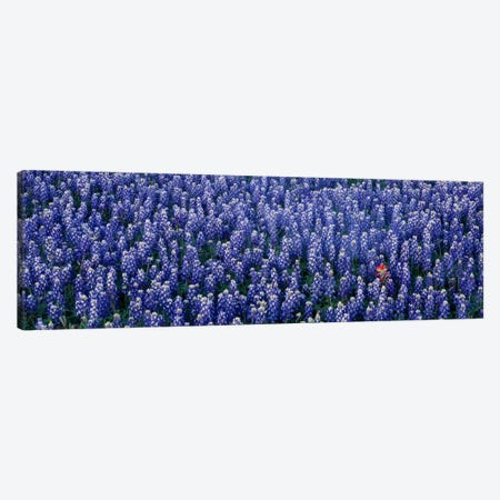 Bluebonnet flowers in a field, Hill county, Texas, USA Canvas Print #PIM558} by Panoramic Images Canvas Wall Art
