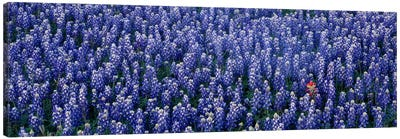 Bluebonnet flowers in a field, Hill county, Texas, USA Canvas Art Print