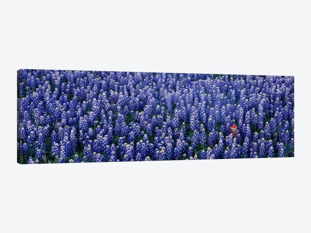 Bluebonnet flowers in a field, Hill county, Texas, USA by Panoramic Images 1-piece Canvas Print