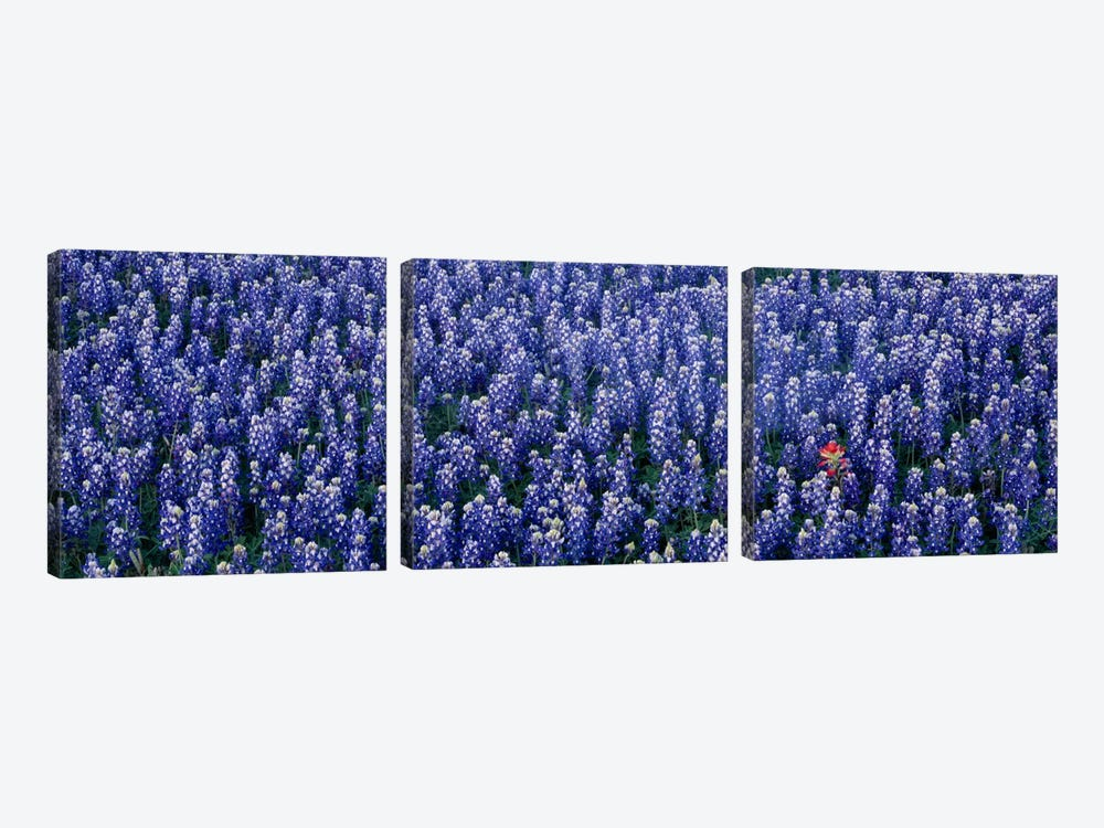 Bluebonnet flowers in a field, Hill county, Texas, USA by Panoramic Images 3-piece Art Print