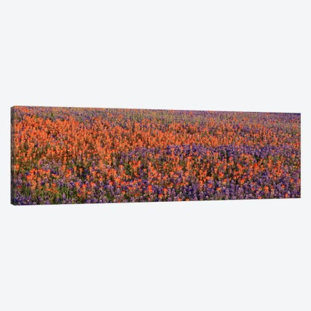 Texas Bluebonnets & Indian Paintbrushes in a fieldTexas, USA Canvas Print #PIM559} by Panoramic Images Canvas Art