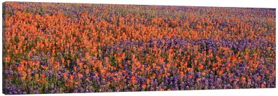 Texas Bluebonnets & Indian Paintbrushes in a fieldTexas, USA Canvas Art Print
