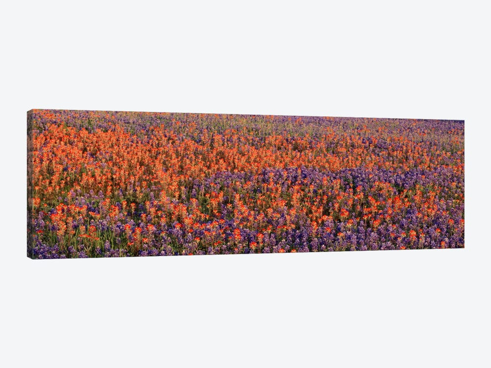 Texas Bluebonnets & Indian Paintbrushes in a fieldTexas, USA by Panoramic Images 1-piece Canvas Wall Art