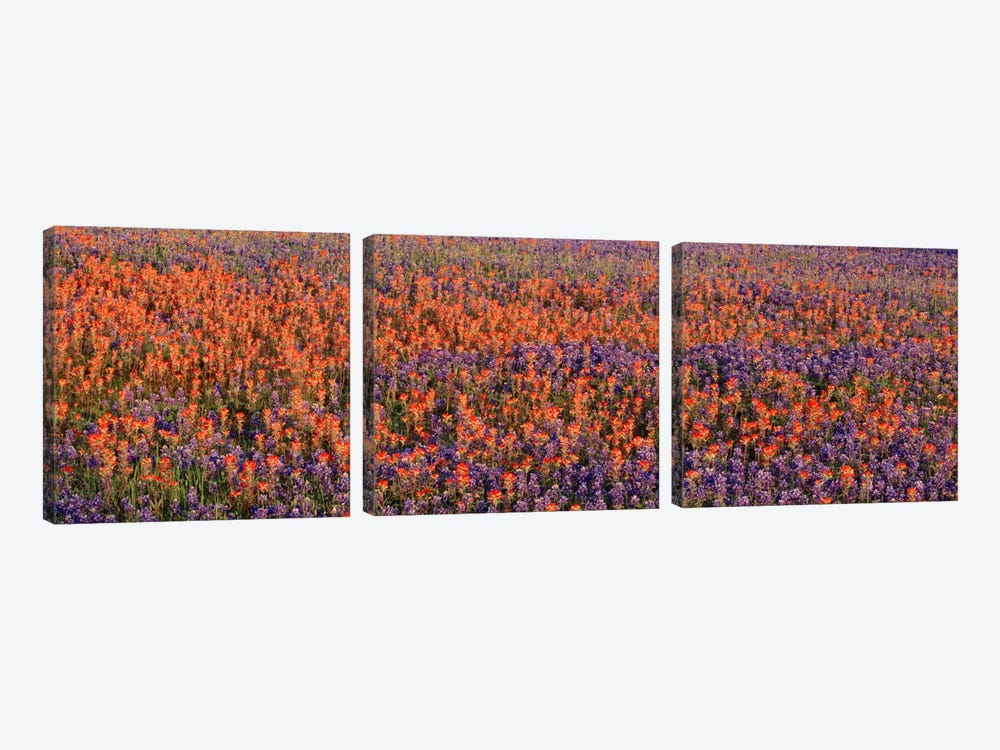 Texas Bluebonnets & Indian Paintbrushes in a fieldTexas, USA by Panoramic Images 3-piece Canvas Art