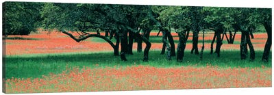 Indian Paintbrushes And Scattered Oaks, Texas Hill Co, Texas, USA Canvas Print #PIM560