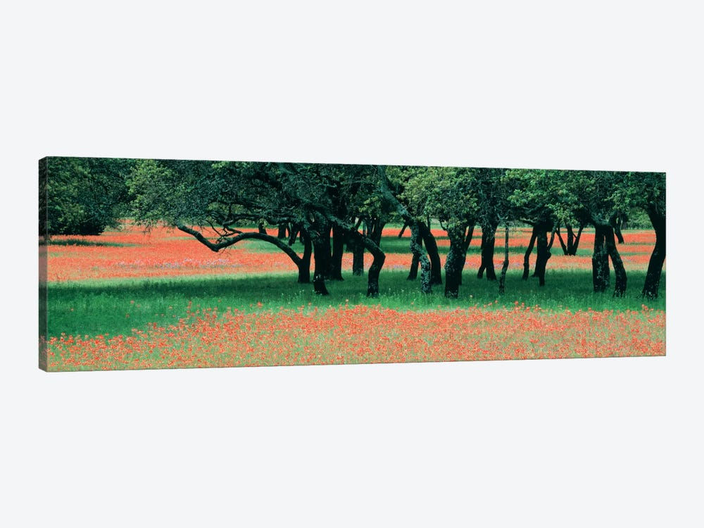 Indian Paintbrushes And Scattered Oaks, Texas Hill Co, Texas, USA by Panoramic Images 1-piece Canvas Artwork