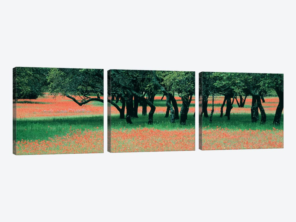 Indian Paintbrushes And Scattered Oaks, Texas Hill Co, Texas, USA by Panoramic Images 3-piece Canvas Artwork