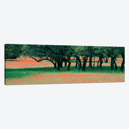 Indian Paintbrushes And Scattered Oaks, Texas Hill Co, Texas, USA Canvas Print #PIM560} by Panoramic Images Canvas Print
