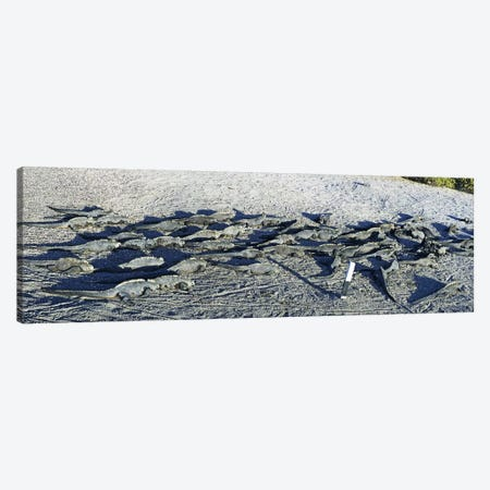 Marine Iguanas on the beach, Galapagos Islands, Ecuador Canvas Print #PIM5692} by Panoramic Images Canvas Art Print