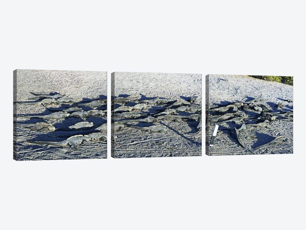 Marine Iguanas on the beach, Galapagos Islands, Ecuador by Panoramic Images 3-piece Art Print